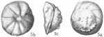 Rotalia rosea