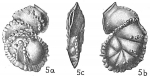 Siphoninella soluta