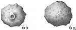 Siphoninoides echinata