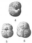 Ammosphaeroidina grandis