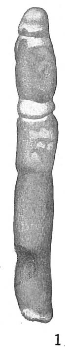Bathysiphon filiformis