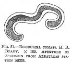 Biloculina comata