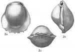 Biloculina denticulata striolata, author: Cedhagen, Tomas