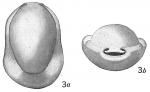Biloculina denticulata var.