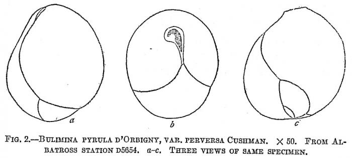 Bulimina pyrula perversa