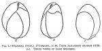 Bulimina pyrula