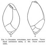 Bulimina subaffinis