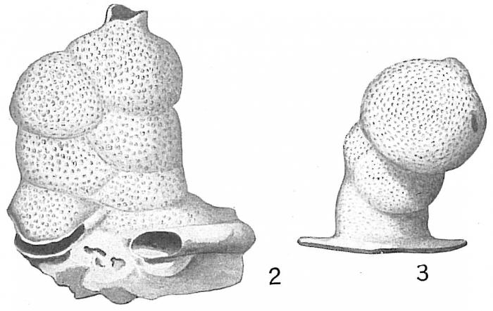 Carpenteria proteiformis