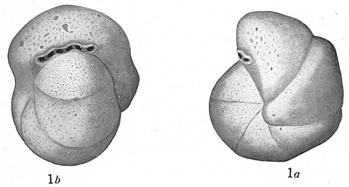 Cribrostomoides bradyi