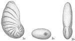 Cristellaria dorsocostata
