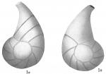 Cristellaria helicinoides