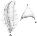 Cristellaria italica var. acutocarinata