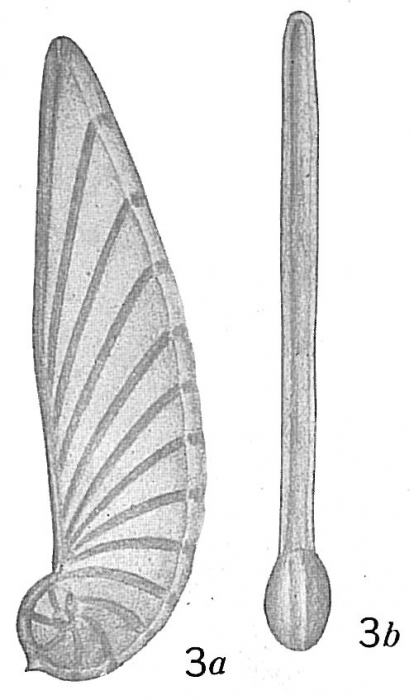 Cristellaria tricarinella