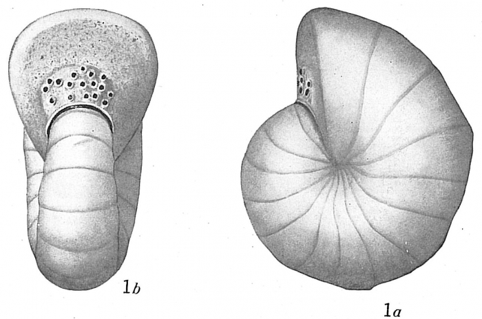 Cyclammina cancellata