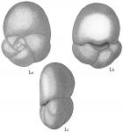 Discorbis allomorphinoides