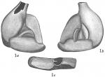 Flintina triquetra