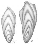 Frondicularia inaequalis