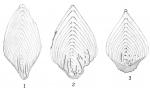 Frondicularia philippinensis