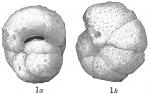 Haplophragmoides subglobosum