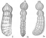 Marginulina philippinensis