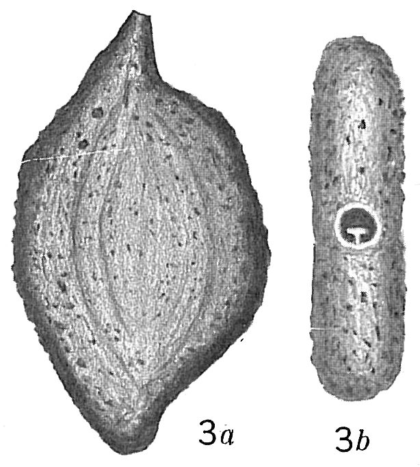Massilina arenaria