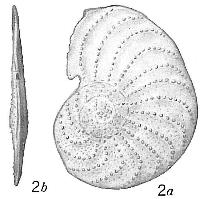 Operculina bartschi ornata
