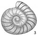 Operculina elegans