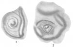 Opthalmidium inconstans
