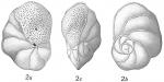 Pulvinulina lateralis