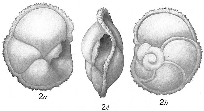 Pulvinulina menardii fimbriata