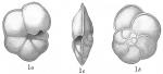 Pulvinulina menardii