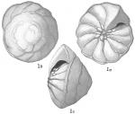 Pulvinulina procera