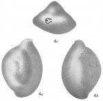 Quinqueloculina albatrossi, author: Cedhagen, Tomas