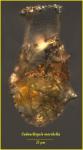 Codonellopsis morchella (Cleve) Jörgensen, 1924