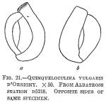 Quinqueloculina vulgaris