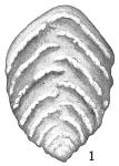 Textularia crassisepta, author: Cedhagen, Tomas