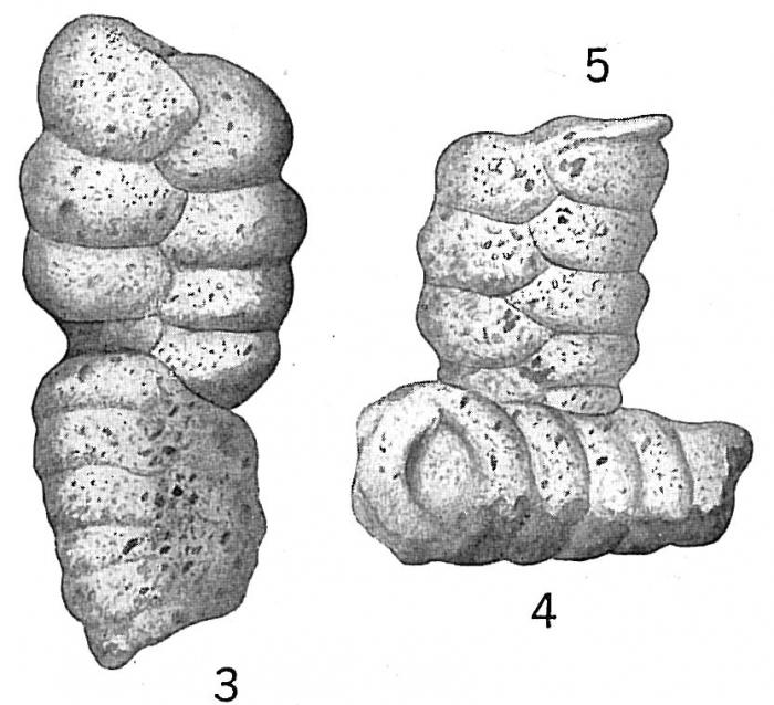 Textularia sagittula, abnormal