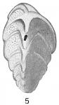 Verneuilina spinulosa