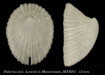 Emarginula sicula Gray, 1825Specimen from Palermo, collected and identidfied by Monterosato (actual size  12 mm)