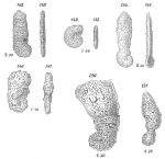 Ammoscalaria pseudospirale