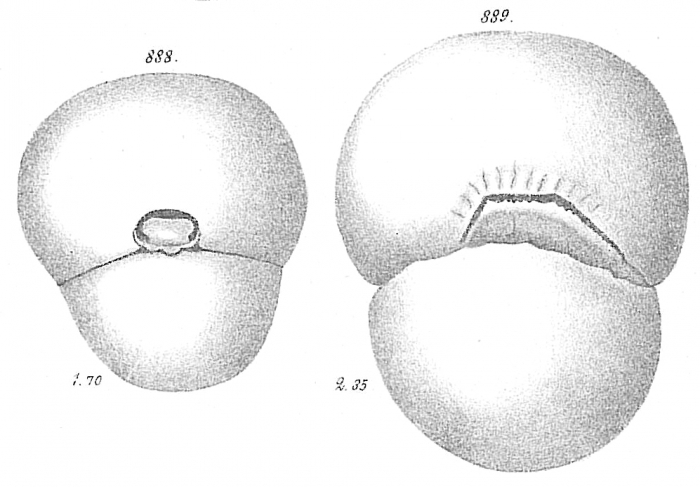 Biloculina abyssorum