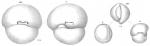 Biloculina simplex