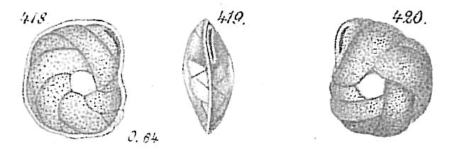 Cassidulina laevigata