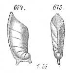 Cristellaria spinigera