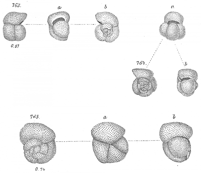Globigerina inflata (in part) - 764a is NOT G. inflata