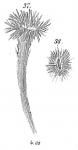 Halyphysema tumanoviczii abyssicola