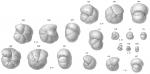Labrospira subglobosa