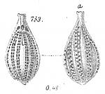 Lagena striatopunctata
