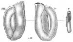 Miliolina angulata