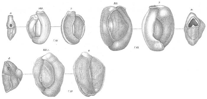 Miliolina bicornis